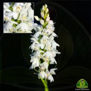 Dactylorhiza fuchsii okellyi